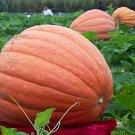 Eddy-Endah Store   USA Giant Pumpkin Seeds, 10PCS/pack, Organic Redish Orange Vegetables Edible