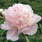 Eddy-Endah Store   5 Seeds Rare Many Petaled Bowl-shaped Pink Peony Garden Flowers Seeds