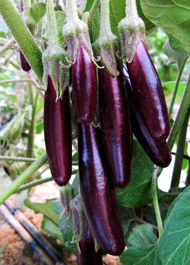 Eddy-Endah Store   Organic Heirloom Eggplant Aubergine Little Fingers Solanum Melongena Seeds