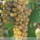 Eddy-Endah Store   LaCrescent Golden Brown Grape Seeds Hardy Plants White Grape Wine Mateial