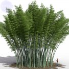 Eddy-Endah Store   200+ Huge Phyllostachys Pubescens Moso Bamboo Seeds, Professional Pack, Produce E