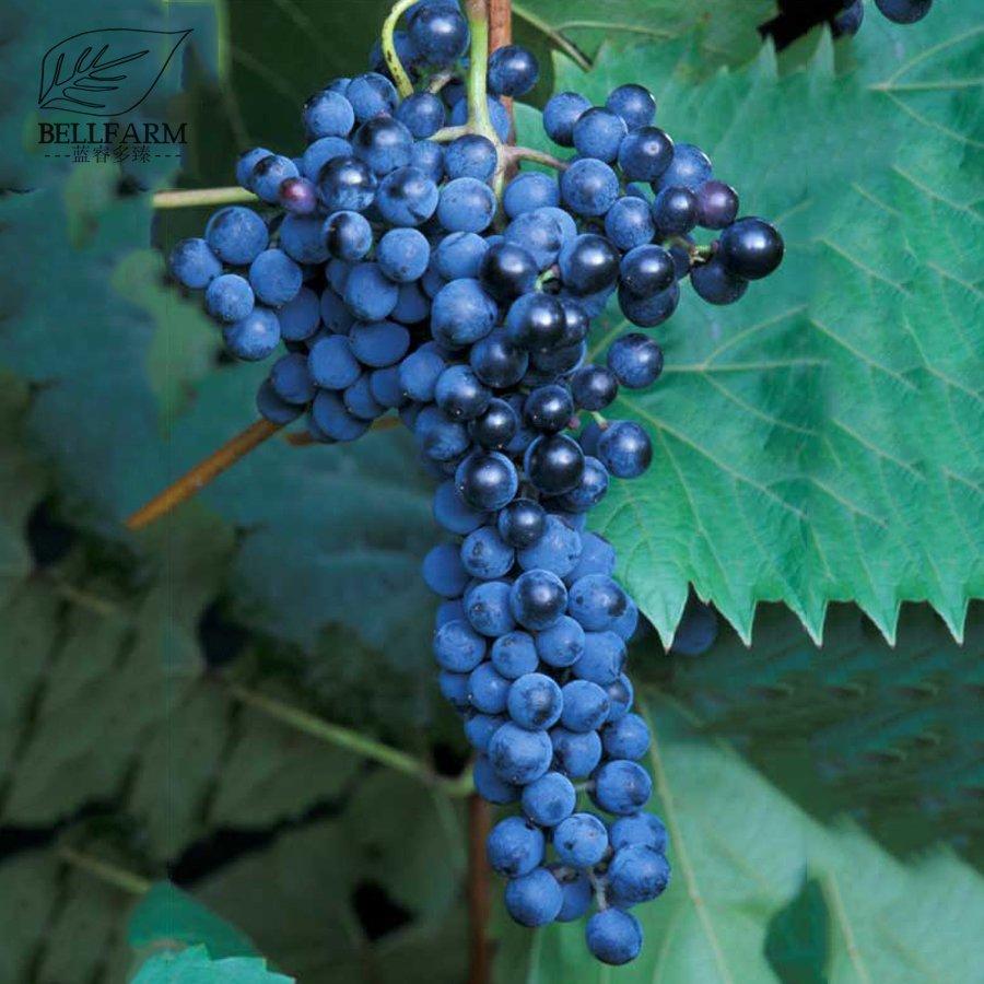 Eddy-Endah Store   Frontenac Blue Grape Seeds 100PCS Hardy Plant Seedling Good Disease Resistance &