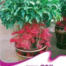 Eddy-Endah Store 1 Original Pack, 10 seeds / pack, Coral Berry Seed Ardisia Crenata Sub Tropical or