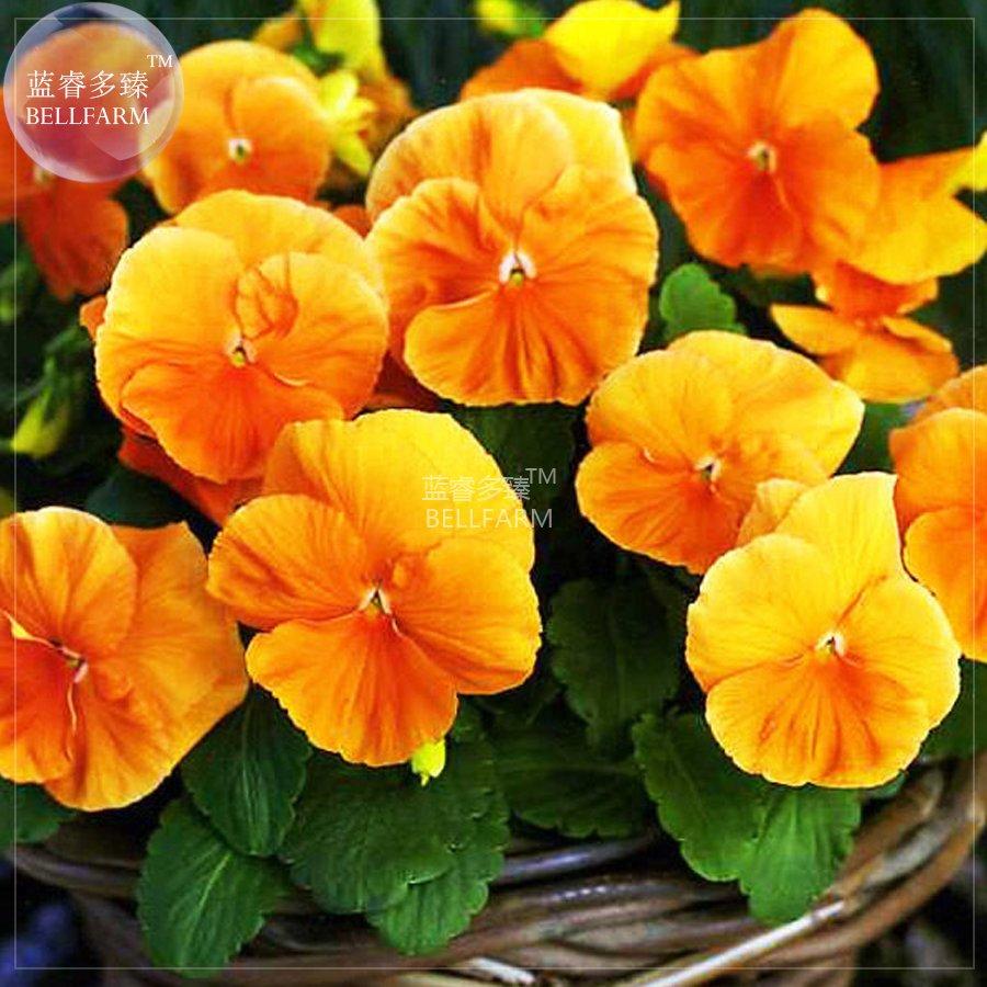 Eddy-Endah Store   Pansy Orange Perenial Flower Seeds, 30 seeds, professional pack, viola wittrockia