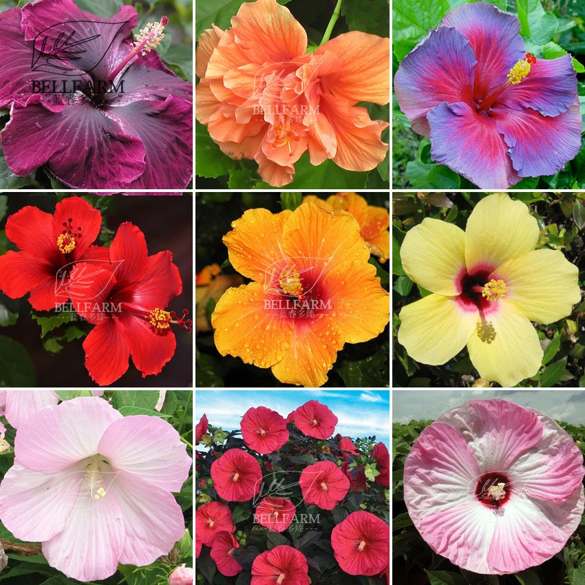 Eddy-Endah Store   20PCS Hibiscus Rosa-sinensis Perennial Flower Seeds Bonsai Big Blooms Red Green B