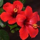 Eddy-Endah Store   20PCS Hibiscus Rosa-sinensis Perennial Flower Seeds Bonsai Big Blooms Red Green B
