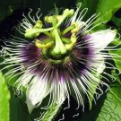 Eddy-Endah Store   Mixed 9 Types of Passiflora Flowers Big Hanging Bonsai Flower Seeds 20pcs Interes