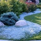 Eddy-Endah Store 100Pcs/Bag Creeping Thyme Seeds Or Blue ROCK CRESS Seeds - Perennial Ground Cover F