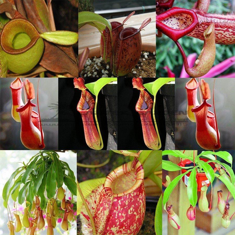 Eddy-Endah Store 5 pcs Bonsai Nepenthes Seeds, Eat Mosquito Pitcher Plants, Interesting Succulent