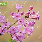 Eddy-Endah Store 60pcs Lilac Flowers Syzygium Aromaticum Flower Bonsai Plants for Home Garden Natura