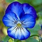 Eddy-Endah Store 100 pcs/Bag Bonsai Pansy Flower Mix Color Blooming Wavy Viola Tricolor Flore Outdoo