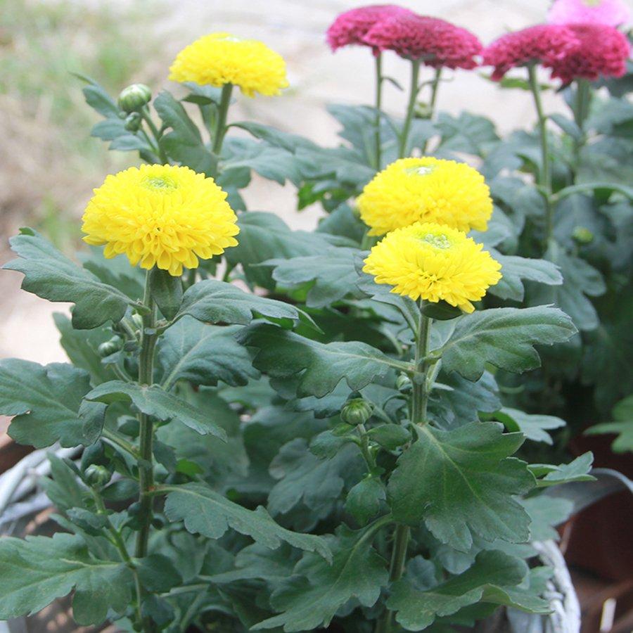 Eddy-Endah Store   150+ Bellis perennis Flowers Seeds Green Pink White Yellow Dark Red Daisy Flowers