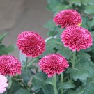 Eddy-Endah Store   150+ Bellis perennis Flowers Seeds Green Pink White Yellow Dark Red Daisy Flowers