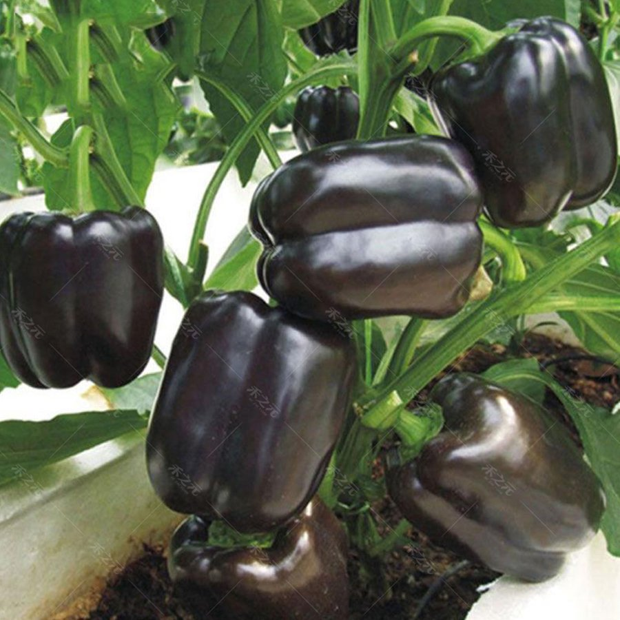 Eddy-Endah Store   Giant Sweet Pepper Seeds 200PCS Rose Red Black Yellow White Capsicum Vegetables H