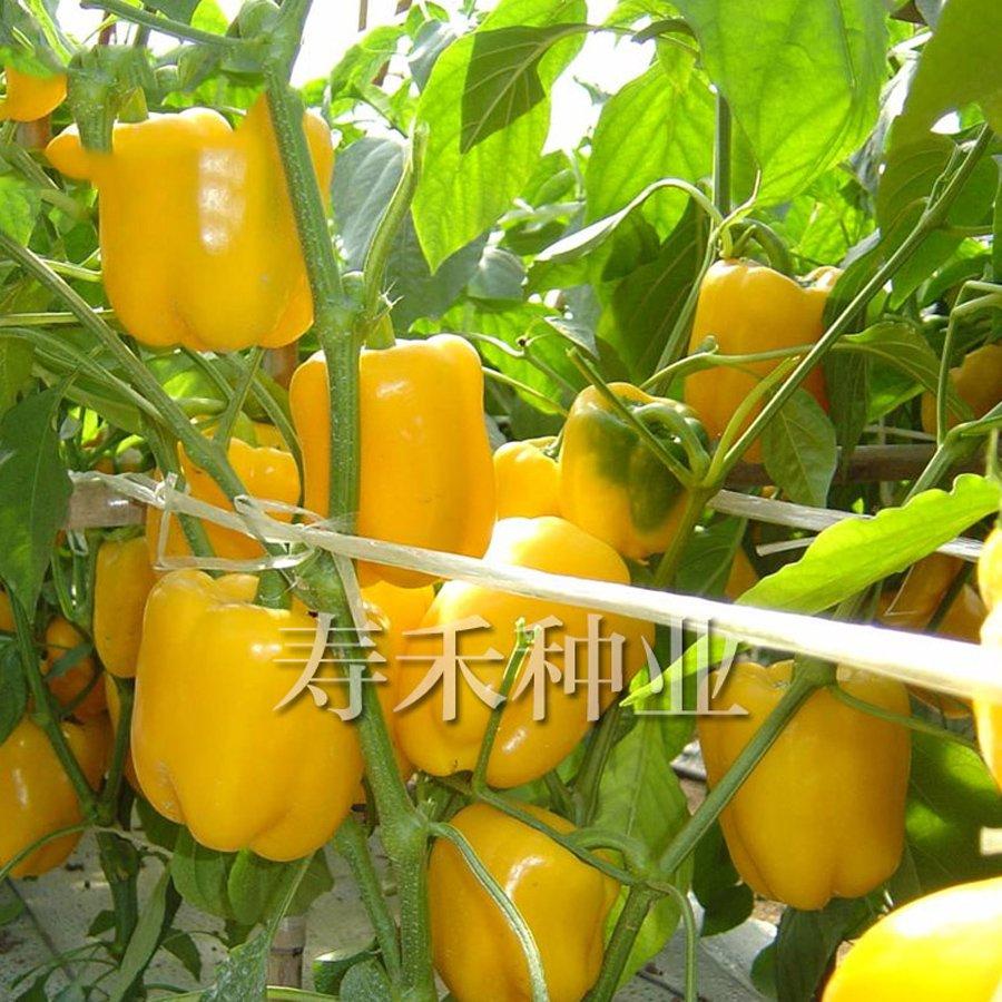 Eddy-Endah Store   Giant Sweet Pepper Seeds 200PCS Rose Red Black Yellow White Capsicum Vegetables H