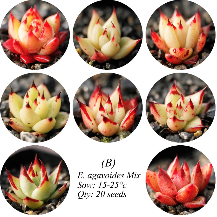 Eddy-Endah Store Echeveria Agavoides Seeds, E. agavoides Ebony Salitrera / Ebonyi / V La Virgin / V