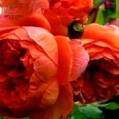Eddy-Endah Store   10PCS Hybrid F1 Peony Seeds Orange Red & Purple Blue Double Big Blooms Flowers T1