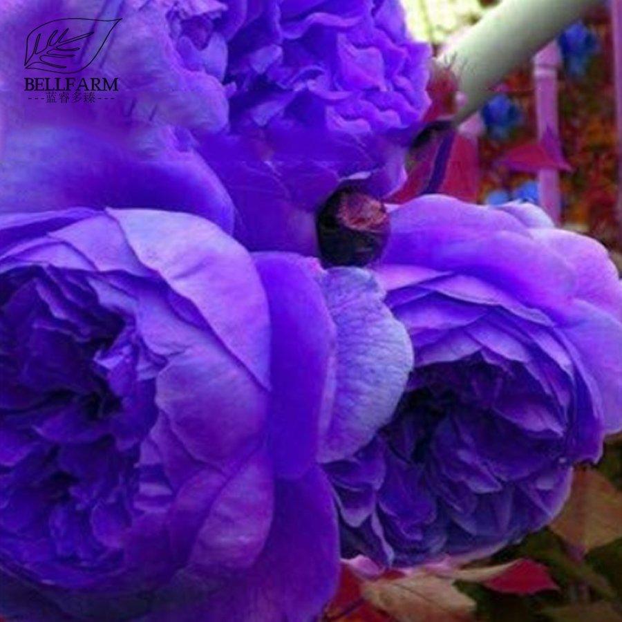 Eddy-Endah Store   10PCS Hybrid F1 Peony Seeds Orange Red & Purple Blue Double Big Blooms Flowers T2