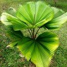 Eddy-Endah Store   Licuala Cordate Rare Seeds 40+ Round Mellow Leaves Perennial Plants