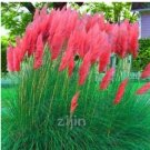 Eddy-Endah Store 500PCS Purple Pampas Grass Seeds T3
