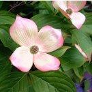Eddy-Endah Store Dogwood Ornamental Plant Fruit Bonsai Plant Semillas Bonsai Can Edible Flower Pots