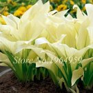 Eddy-Endah Store 100 Pcs Bonsai Hosta Mixed Bonsai Jardin Perennials Lily Flower Pot White Lace DIY