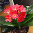 Eddy-Endah Store 100 Pcs Gorgeous Clivia Bonsai (Kaffir Lily),Rare Bonsai Flower Plant,Indoor Plant