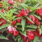 Eddy-Endah Store Heirloom 100 Pcs Garden Dwarf Balsam Pretty Double Impatiens Flower Novelty Bonsai