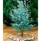 Eddy-Endah Store Seed Blue Eucalyptus Mini Tree Exotic Shrub Flower Pots Planters Tropical Ornaments