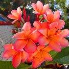 Eddy-Endah Store 100PCS Japanese Style Plumeria Plant Potted Bonsai DIY Home Garden