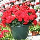 Eddy-Endah Store 50PCS Red Rieger Begonias Seeds