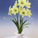 Eddy-Endah Store 100pcs Amaryllis Bonsai Hippeastrum Flower (not Hippeastrum Bulbs) Perennial Indoor