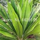 Eddy-Endah Store Hot Sale 10 Pcs/Bag Palm Bonsai DIY Plant for Home Garden Decoration Bonsai Plants