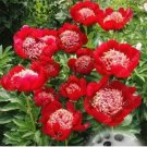 Eddy-Endah Store 20pcs Rare Double Peony Seed Multicolor Perennial Peony Flowers Chinese Paeonia Suf