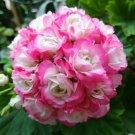 Eddy-Endah Store   Geranium Hydrangea-shaped peach pink and white colors Bonsai Flowers, 10 seeds, b