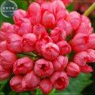 Eddy-Endah Store   Geranium 'Tulip Orangish Red Bud' Perennial Bonsai Flowers, 10 seeds, petals won'