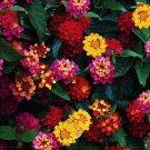 Eddy-Endah Store   Lantana Camara Perennial Bonsai Flowers, 20 Seeds, several colors for your choose