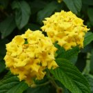 Eddy-Endah Store   Lantana Camara Perennial Bonsai Flowers, 20 Seeds, several colors for your choose