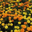 Eddy-Endah Store   50PCS White Marigold French Vanilla Hybrid Flowers Seeds Mixed