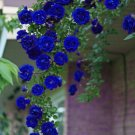 Eddy-Endah Store 50PCS Blue Climbing Rose Seeds