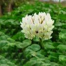 Eddy-Endah Store 500PCS Trifolium repens Seeds White Clover Hokkaido