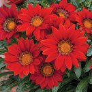 Eddy-Endah Store 20PCS Red Gazania Flower Seeds Treasure Flower