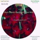 Eddy-Endah Store 3Pcs A Set Vaniot Houtt Flower Gladiolus Bulb - (Color: Black Beauty)