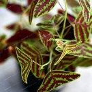 Eddy-Endah Store Bat Grass Bonsai Mix-Colors Christia Vespertilionis Bonsai Patio and Garden Potted
