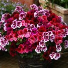 Eddy-Endah Store Geranium Mixed Dark Red Petals Pink Edege Flowers Deep Red and White Semidouble Flo