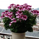 Eddy-Endah Store Geranium 'Colorful Butterfly' Blackish Red White Flowers Seeds