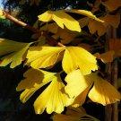 Eddy-Endah Store   Maidenhair Fossil Tree Gingko Biloba 5 Seeds Green to Yellow Ornamental Leaves
