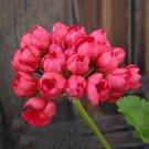 Eddy-Endah Store 10PCS Red Pandora Zonal Geranium Seeds Tulip-shaped Pelargonium Flowers