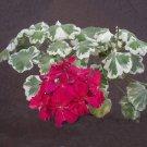 Eddy-Endah Store 10PCS Warrenorth Smokey Quartz Zonal Geranium Seeds Ruby Tint Red Double Pelargoniu