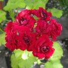 Eddy-Endah Store 10PCS Diemierii Schafferi Zonal Geranium Red Pelargonium Flower Seeds